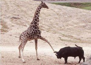 We Giraffes can kick baby!