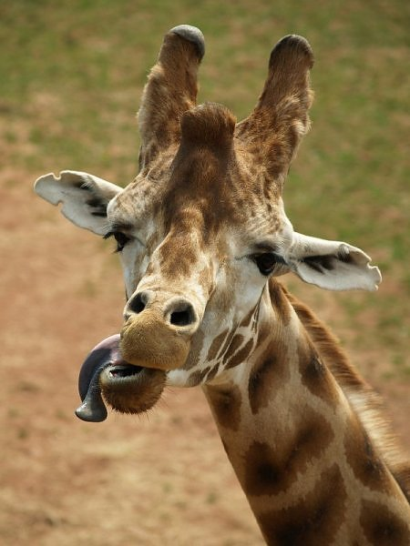 giraffe tongue 1