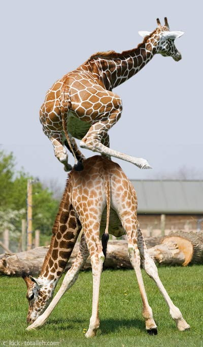 We giraffes can leap better than frogs, but we are humble about it...